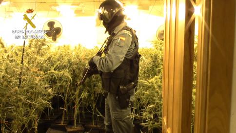 Desmantelan en Jadraque una plantación de marihuana con 1.574 plantas