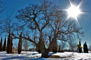 Un informe propone medidas de conservación para el roble centenario de Valdeluz