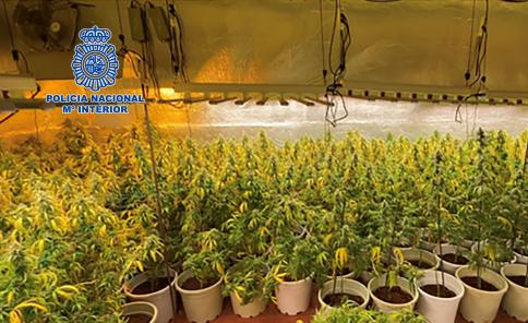 Desmantelan una sofisticada plantación de marihuana con gran capacidad de producción